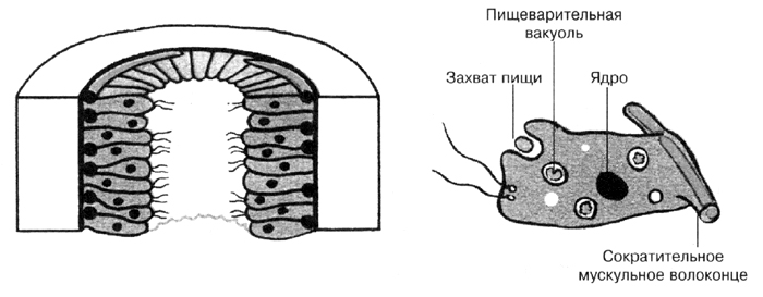 Строение клетки энтодермы