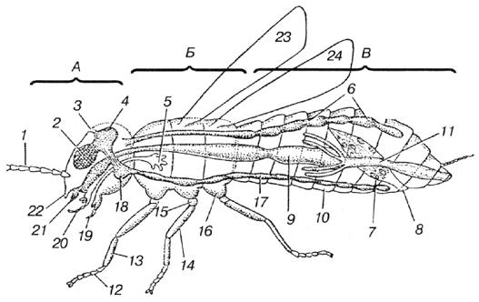 Морфология насекомых (схема).