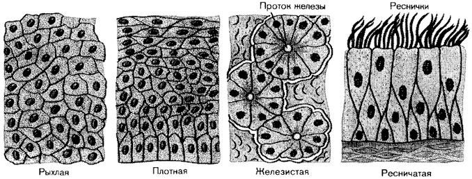 Виды эпителиальной ткани.