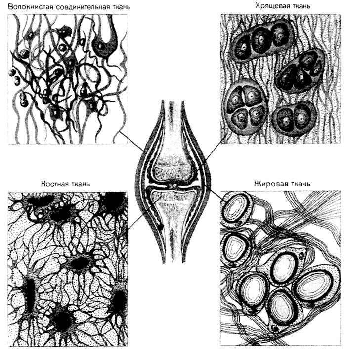 Виды соединительной ткани.