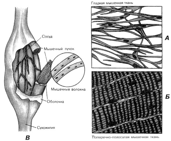 Виды мышечной ткани.