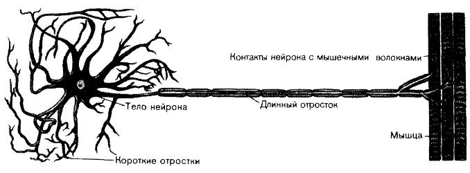 Схема строения нервной клетки.