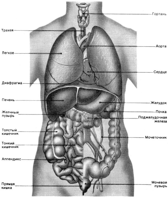 Схема лица на органы