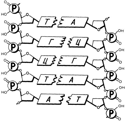 Состав и строение днк, схема