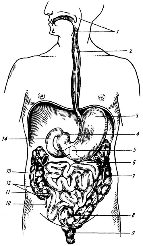 Схема пищеварительного канала.