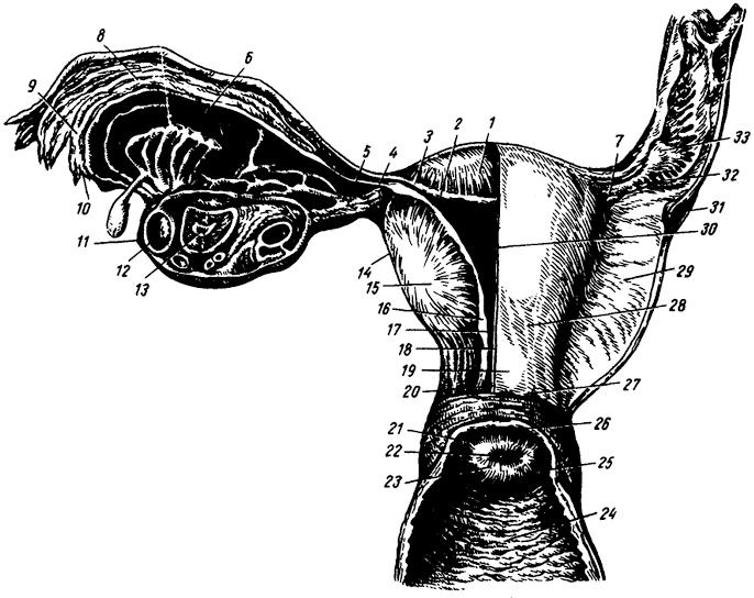 Как сперма попадает в матку в какую дырку — photo 4