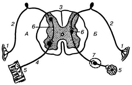 Схема рефлекторной дуги.