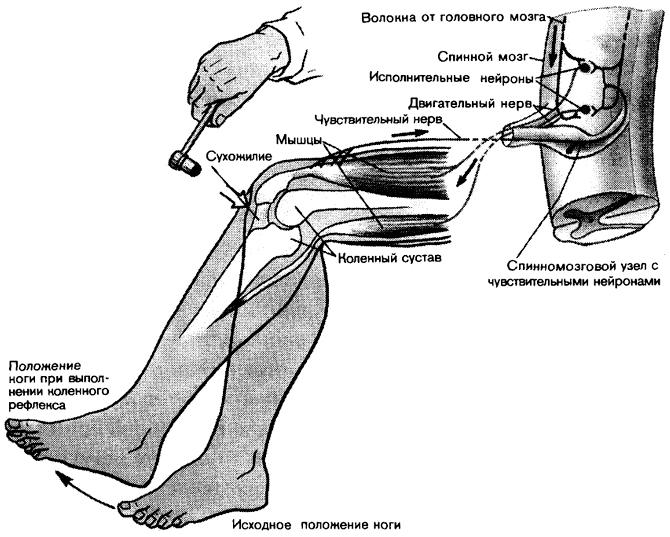 коленного рефлекса.