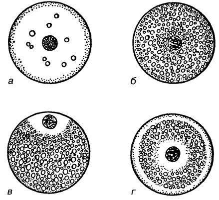 Типы яйцеклеток